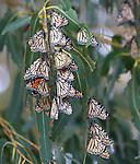 FB-BM1  Back Photo.  Monarch butterfly. 2x7 bookmark.