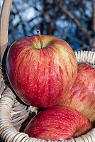 Apple Gala fruits, Malus domestica, great tasting eating apple