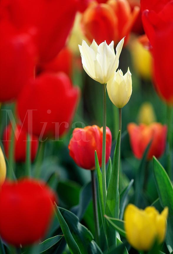 Tulips #5889.