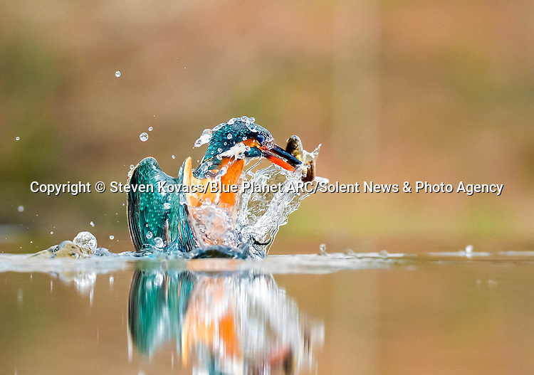 Pictured: MAIN IMAGE - water tumbles off the kingfisher as it emerges from the water. <br /> <br /> Water cascades off a kingfisher following a successful dive into a pool to catch its prey.  The bird made a rapid 5ft dive from directly above the water in Kirkcudbright in Dumfries and Galloway, Scotland.<br /> <br /> After catching fish, the kingfisher flew back up to its perch with its prey in its beak.  SEE OUR COPY FOR DETAILS.<br /> <br /> Please byline: Steven Kovacs/Blue Planet ARC/Solent News<br /> <br /> © Steven Kovacs/Blue Planet ARC/Solent News & Photo Agency<br /> UK +44 (0) 2380 458800