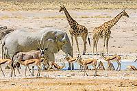 African elephant (Loxodonta africana), gemsboks or gemsbucks (Oryx gazella), giraffes (Giraffa camelopardalis), springbok (Antidorcas marsupialis) and zebras (Equus quagga) at the Nebrowni waterhole, Etosha National Park, Namibia, Africa