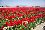 a vast, solid field of bright red tulips, backed by farm buildings, in a commercial field flower farm in Mt. Vernon, WA in the Skagit Valley of Washington state