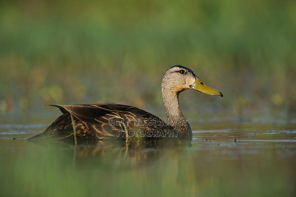 Mottled Duck (Anas fulvigula), male, Fennessey Ranch, Refugio, Corpus Christi, Coastal Bend, Texas Coast, USA