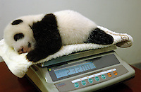 An eight week old panda is weighed, at the Chengdu Panda Breeding and Research Institute. ..photo by richard Jones / sinopix