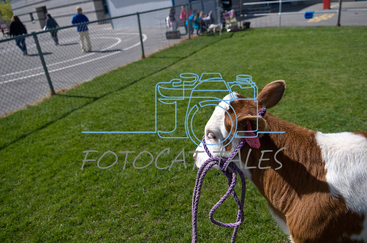 Buttercup, a Holstein Ayrshire mix, participates in the cow plop fundraiser at f Fremont Elementary School in Carson City, Nev., Friday, April 15, 2016.<br /> Photo by Candice Nyando