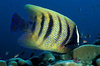 six-banded angelfish or sixbar angelfish, Pomacanthus sexstriatus, Sipadan Island, off Borneo, Sabah, Malaysia (Celebes Sea)