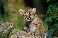 Mountain Lion cub or Cougar Kitten (Puma concolor)