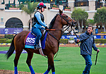 DEL MAR, CA - OCTOBER 31: Untamed Domain, owned by West Point Thoroughbreds, Inc. and trained by H. Graham Motion, walks the paddock after morning workouts at Del Mar Thoroughbred Club on October 31, 2017 in Del Mar, California. (Photo by Alex Evers/Eclipse Sportswire/Breeders Cup)