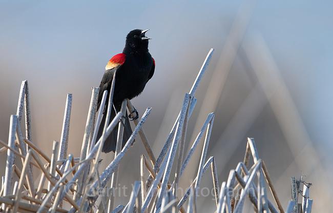 Red-winged Blackbird (Agelaius phoeniceus). Lake County, Oregon. April.