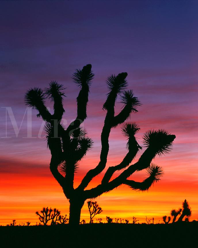 Joshua Tree (Yucca brevifolia) Mojave Desert Joshua Tree National Park California