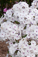 Phlox paniculata 'Blue Ice'(17) in bloom, arge trusses of fragrant, blue-tinged, white flowers opening from pink buds in early summer