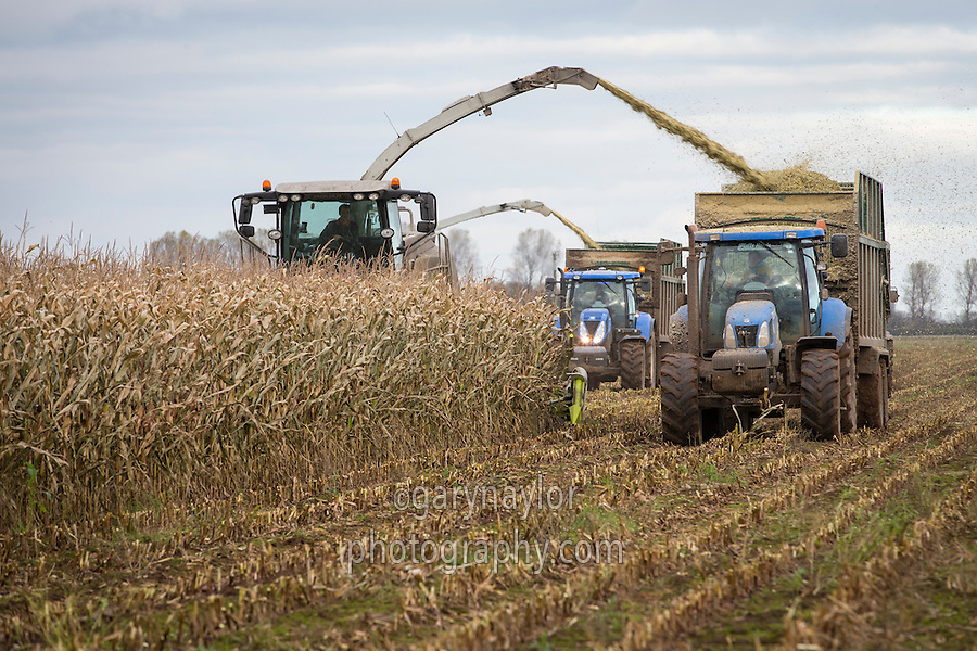 Harvesting forage miaze for anaerobic digestion with Claas Jaguar foragers - November, Lincolnshire