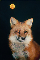 Red fox (vulpes fulva) with snowy nose and full winter coat in full moon night, midwest USA