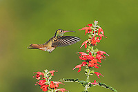 Buff-bellied Hummingbird (Amazilia yucatanenensis), male feeding on Tropical Sage (Salvia coccinea), Sinton, Corpus Christi, Coastal Bend, Texas, USA