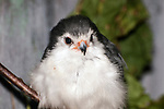 African Pygmy Falcom medium shot