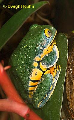 FR24-528z   Splendid Leaf Frog, Agalychnis calcarifer