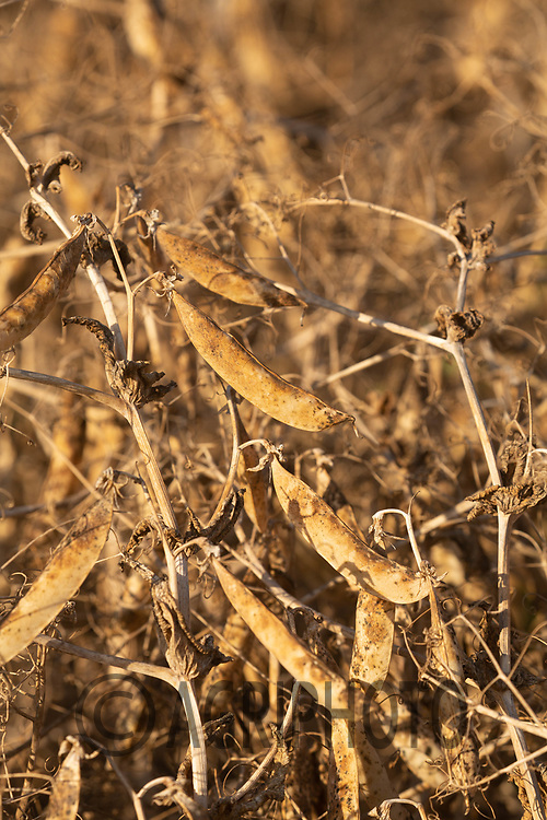 13-8-2021 Peas ready for harvest<br /> ©Tim Scrivener Photographer 07850 303986<br />      ....Covering Agriculture In The UK....