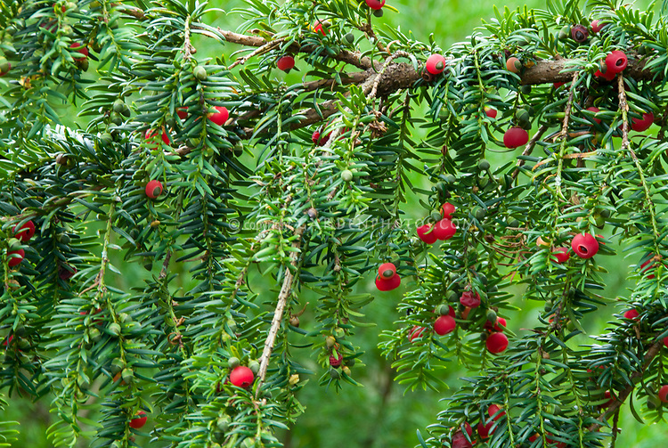 Taxus baccata berry of the yew, closeup of foliage needles, poisonous plant