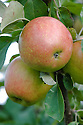 Apple 'Delgollune', mid September. A French dessert apple bred in the 1960s. sometimes known as 'Delbard Jubiié' or just 'Jubiié'.