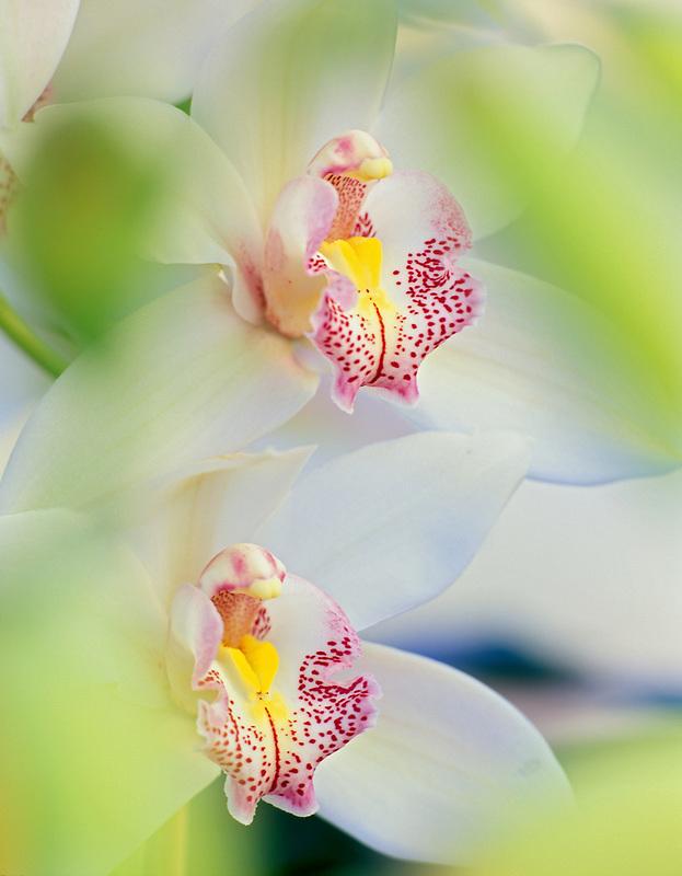 Cymbidium orchid. Oregon Coast Greenhouses.