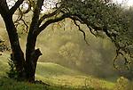 Oak trees, CA