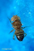 1D05-004a  Fruit Fly - wingless and white eyed male - Drosophila melanogaster