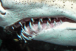 Sand tiger shark, close-up of mouth and 3 rows of teeth