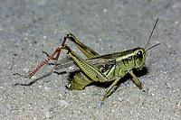 Spurthroat Grasshopper (Melanoplus sp.), laying eggs in sand, Michigan, USA, America, North America