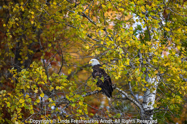 Bald eagle perched in an autumn aspen in northern Wisconsin.