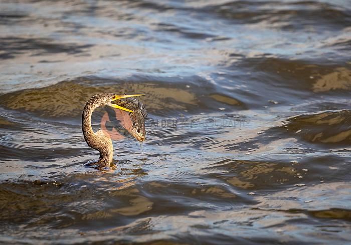 Anhinga swimming in water spearing large fish