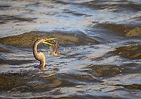 Anhinga swimming in water spearing large fish