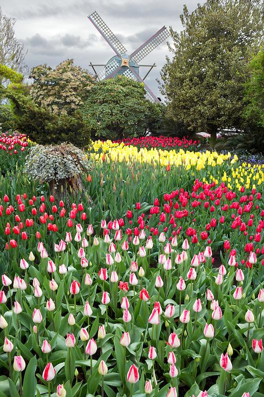 Roozengaarde display garden with windmill. Mt. Vernon. Washington