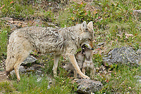 Wild Coyotes (Canis latrans)--mother with young pups. Pups are trying to get mom to regurgitate food to them.   Western U.S., June.