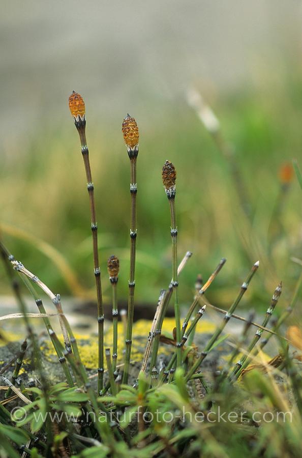 Bunter Schachtelhalm, Equisetum variegatum, Schachtelhalme, variegated horsetail, variegated scouring rush