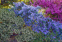 Red, white and blue color combination - Ceanothus leucodermus with Redbud and Arctostaphylos 'Howard McMinn' in California native plant shrub border