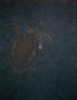 Sea turtle<br />