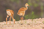Two sandhill crane colts feeding along a gravel path.