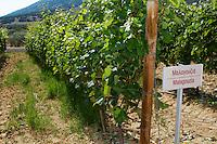 Vines. Malagouzia vine variety. Biblia Chora Winery, Kokkinohori, Kavala, Macedonia, Greece