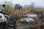 Tourists watching male and female Great One-horned Rhinoceros (Rhinoceros unicornis) - courting pair. Kaziranga National Park, Assam, India.