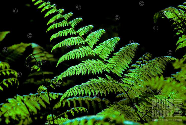 Hoio fern (Diplazium arnottii), an edible native fern,  in Kokee State park.
