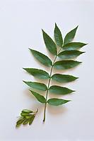 Europe/France/Ile-de-France/75012/Paris: Frene  - Fraxinus excelsior.<br /> Plantes médicinales- Jardin de l'Ecole du Breuil dans le Bois de Vincennes