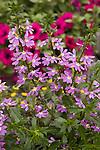 'Fairy Violet' Palmflower, Scaveola aemula