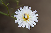 I believe that this is white hawkweed (_Hieracium albiflorum_), and I think that's a small wasp visible inside of it.  Please correct me if I'm wrong :)