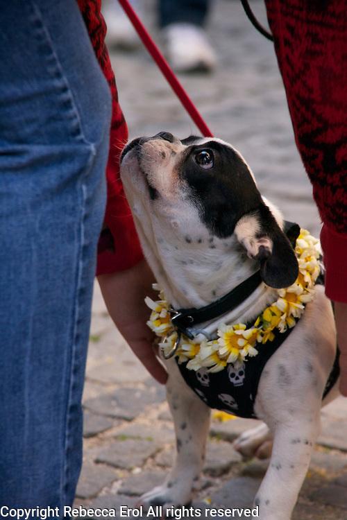 Alacati, Turkey: the Ot Festivali or Herb Festival - even the pets wear the ubiquitous dasiy garland