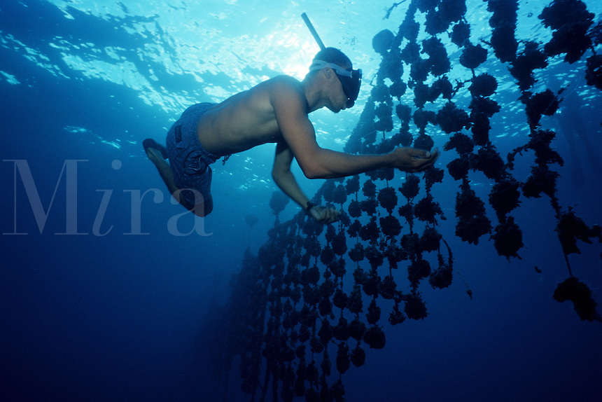 French Polynesia is famous for its Black pearl industry . Oysters containing pearls are raised in underwater farms, Tuamotus, French Polynesia, Indo-Pacific