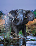 An old elephant bull strikes a defiant stance as he conveys his annoyance to this photographer's proximity. Bull elephants by themselves are relatively docile unlike larger herds of females and young, known as breeding herds.