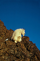 Mountain goat (Oreamnos americanus), Pacific Northwest, fall.