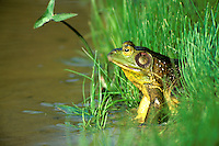 American green frog, Ranidae Clamitans, in marshy area, Missouri