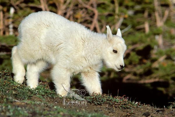 Mountain goat kid, alpine meadow, Pacific N.W., June