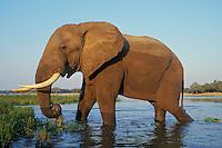 Large african elephant (Loxodonta africana) bull feeding along the edge of the Zambezi River in Mana Pools National Park, Zimbabwe.